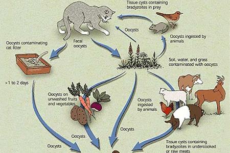 Life Cycle of Toxoplasma-horz