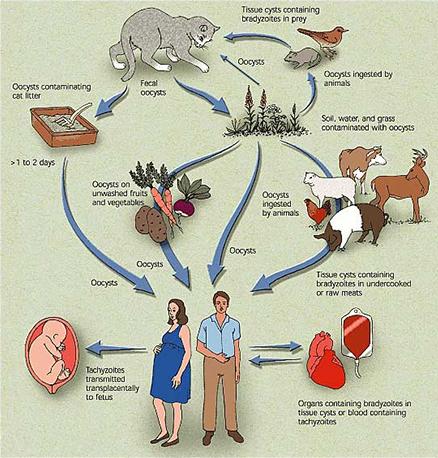The life cycle of Toxoplasma, © Marcia Hartsock.