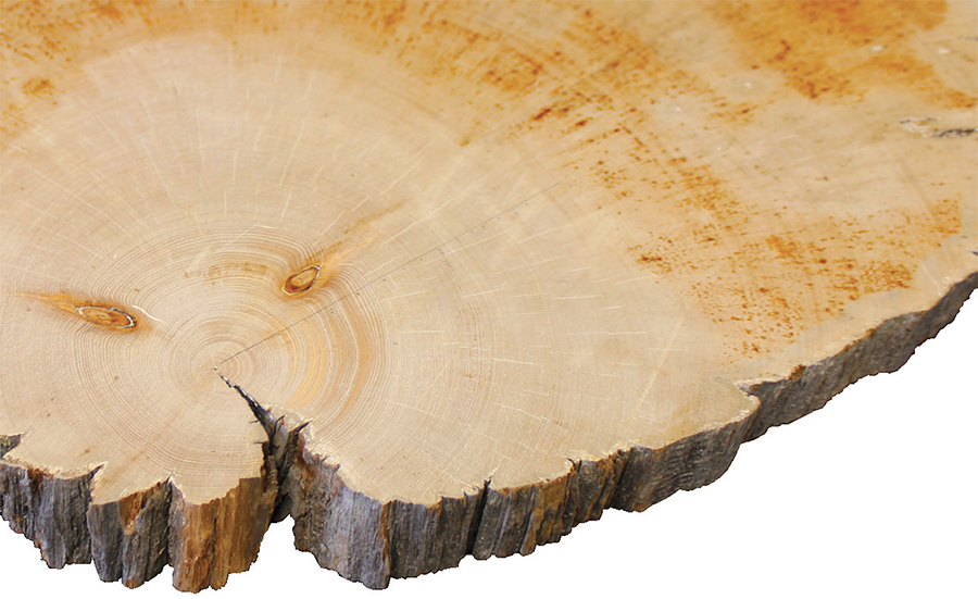 Cross section of a whitebark pine tree from the Beartooth Mountains of northwestern Wyoming dating back to 792 AD.